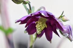 Columbine flower. Close up of a columbine flower in bloom stock photo