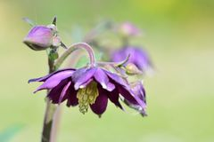 Columbine flower. Close up of a columbine flower in bloom stock photography