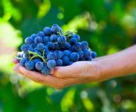 Close up com as mãos cheias das uvas Fotografia de Stock