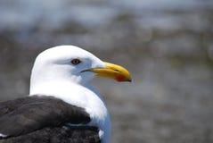 Close up com o dorso negro da gaivota Fotos de Stock