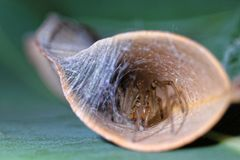 Leaf-curling Australian spider in curled leaf. Close-up of a common Australian spider hiding in its silk-seamed, curled leaf. Nature in detail stock photos