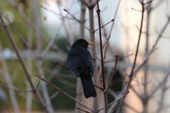 A common blackbird sitting on the branch of a tree in the garden of the house Stock Photos