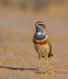 Close-up of a Common Bluethroat royalty free stock photography