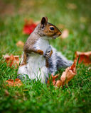 Close-up of a Common Brown Squirrel Stock Photography