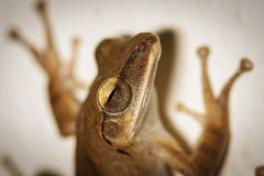 A close up of common bush frog on the wall Stock Photo