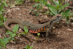 A close up of Common Butterfly Lizard on the ground Stock Images