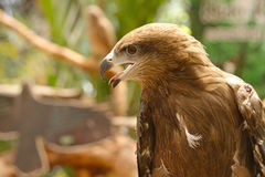 Close up a common buzzard Stock Photos