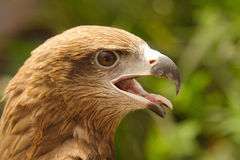 Close up a common buzzard Royalty Free Stock Image