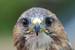 Closeup of a common buzzard buteo buteo looking straight at the camera Royalty Free Stock Photos
