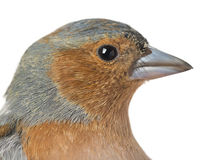 Close-up of Common Chaffinch - Fringilla coelebs Royalty Free Stock Photos