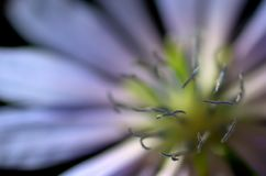 Close-up of Common Chicory (Cichorium intybus) flower Royalty Free Stock Photos