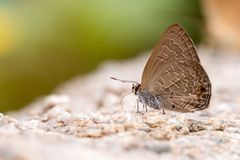 Close up of Common Ciliate Blue butterfly feed on rock. Anthene emolus Godart on stone with copy space Stock Images