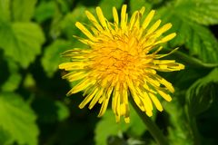 Common Dandelion - Taraxacum officinale. Close up of a Common Dandelion flower. Rosetta McClain Gardens, Toronto, Ontario, Canada Royalty Free Stock Photo