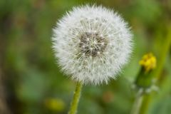 Common dandelion in nature. Close up common dandelion in nature royalty free stock photos