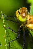 Close up of a Common Darter Dragonfly. Stock Images