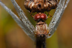 Close up of a common darter dragonfly Royalty Free Stock Image