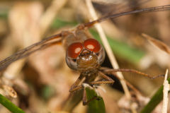 Close up of a common darter dragonfly Stock Photo