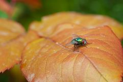 Common green bottle fly on a leaf. Close-up of common green bottle fly on an orange leaf Stock Photos