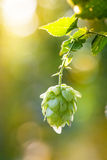 Close-up of common hop cone in soft light Stock Photo