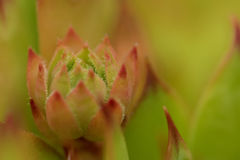 Common Houseleek, Sempervivum Tectorum, Plant of the alps. Royalty Free Stock Photo