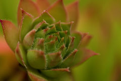 Common Houseleek, Sempervivum Tectorum, Plant of the alps. Royalty Free Stock Images