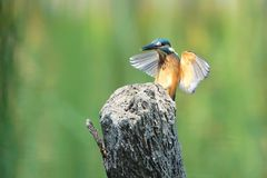 Kingfisher. The close-up of a Common Kingfisher flies to the top of stick. Scientific name: Alcedo atthis Royalty Free Stock Image