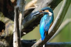 Kingfisher. The close-up of a Common Kingfisher stands on branch. Scientific name: Alcedo atthis Royalty Free Stock Image