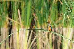 Kingfisher. The close-up of a Common Kingfisher stands on rushes and looks up sky. Scientific name: Alcedo atthis Royalty Free Stock Photography