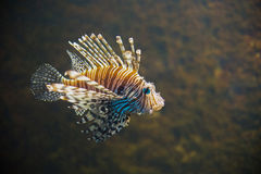 Close up on Common lionfish Pterois miles portrait Stock Image