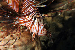 Close-up of a Common Lionfish Stock Photos