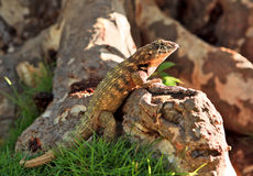 Close up of a common lizard Royalty Free Stock Image