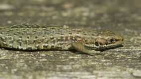Close-up of a Common Lizard (Zootoca vivipara) basking on in the sun stock video