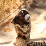 Close up Common Marmoset Stock Photos