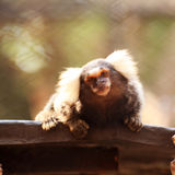 Close up Common Marmoset Royalty Free Stock Images
