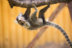 Close up Common Marmoset Royalty Free Stock Photo