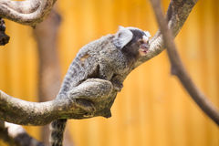 Close up Common Marmoset Royalty Free Stock Image
