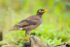 Close up of Common myna stock image