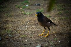 Close up of Common myna Walking on the ground stock photography