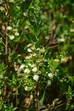 Close-up of Common Myrtle in Bloom, Nature royalty free stock images