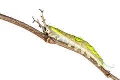 Close up of common Pasha caterpillar Stock Image