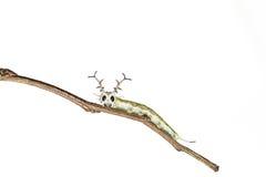 Close up of common Pasha caterpillar Royalty Free Stock Photography