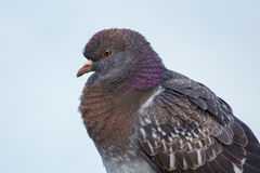 Close-up of a common pigeon stock photo