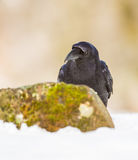 Portrait of a Raven Royalty Free Stock Photography
