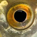 Close up of a Common roach's eye, Rutilus rutilus Royalty Free Stock Photo