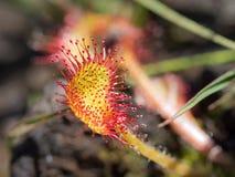 Close-up Common or round-leaved Sundew Drosera rotundifolia stock images