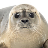 Close-up of a Common seal looking at the camera, Phoca vitulina. 8 months old, isolated on white Stock Image