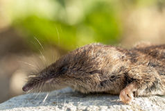Close-up of Common Shrew Stock Photography