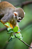 Close-up of a Common Squirrel Monkey Royalty Free Stock Photos