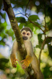 Close-up of a Common Squirrel Monkey at Amazon River Jungle Stock Image