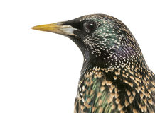 Close-up of a Common Starling, Sturnus vulgaris, isolated Stock Photos